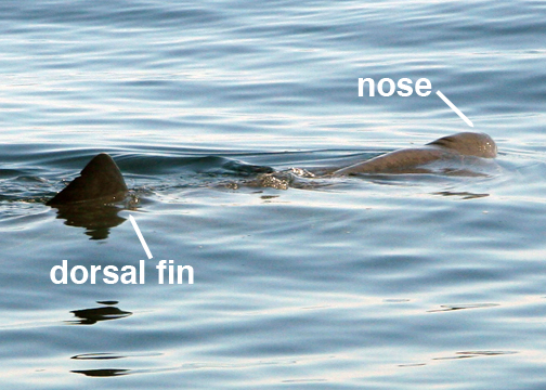 Basking Shark swimming with both the nose and the dordsal fin showing above the water's surface